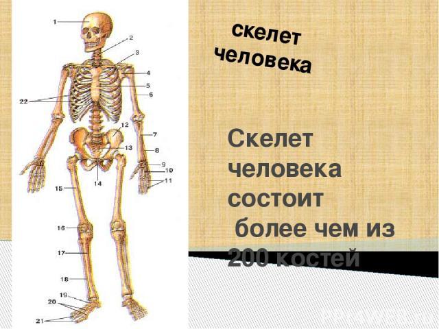 скелет человека Скелет человека состоит более чем из 200 костей