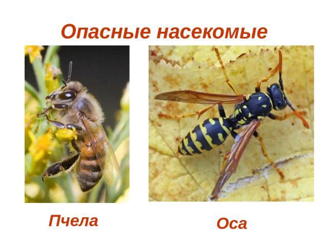 Опасные насекомые Пчела Оса