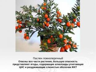 Паслен ложноперечный Опасны все части растения, большую опасность представляют я