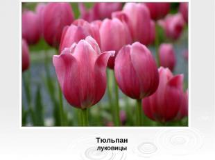 Тюльпан луковицы