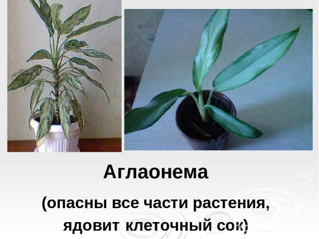 Аглаонема (опасны все части растения, ядовит клеточный сок)