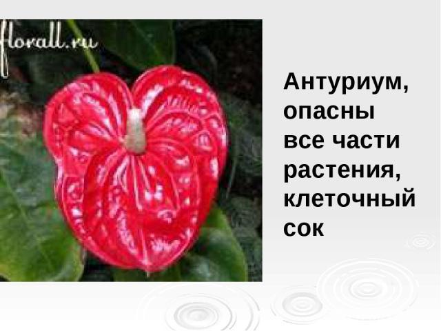 Антуриум, опасны все части растения, клеточный сок