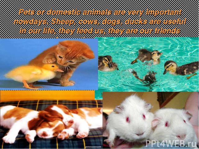 Pets or domestic animals are very important nowdays. Sheep, cows, dogs, ducks are useful in our life, they feed us, they are our friends and sometimes save our lives.