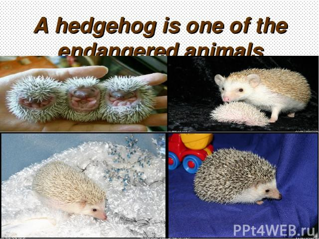 A hedgehog is one of the endangered animals