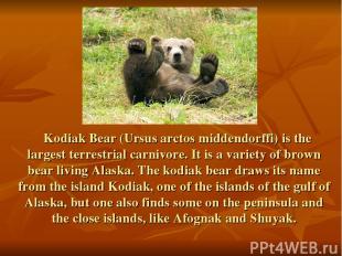 Kodiak Bear (Ursus arctos middendorffi) is the largest terrestrial carnivore. It