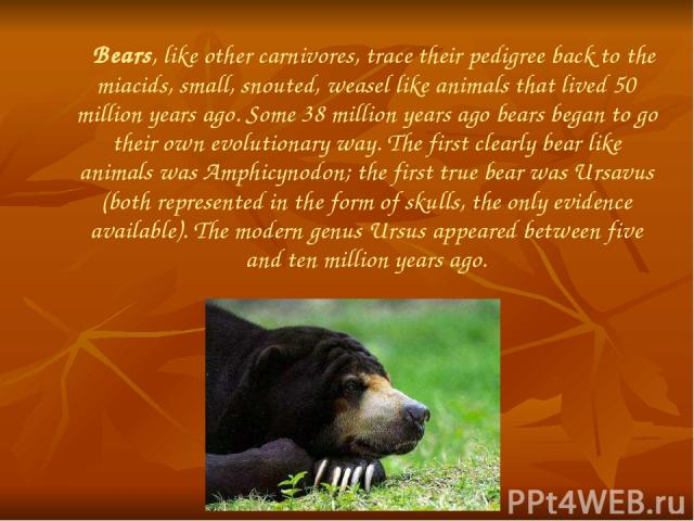 Bears, like other carnivores, trace their pedigree back to the miacids, small, snouted, weasel like animals that lived 50 million years ago. Some 38 million years ago bears began to go their own evolutionary way. The first clearly bear like animals …