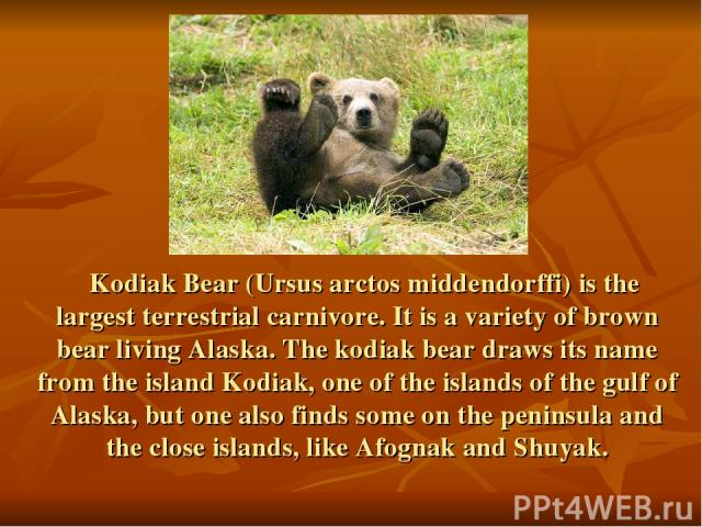 Kodiak Bear (Ursus arctos middendorffi) is the largest terrestrial carnivore. It is a variety of brown bear living Alaska. The kodiak bear draws its name from the island Kodiak, one of the islands of the gulf of Alaska, but one also finds some on th…