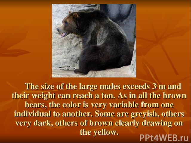 The size of the large males exceeds 3 m and their weight can reach a ton. As in all the brown bears, the color is very variable from one individual to another. Some are greyish, others very dark, others of brown clearly drawing on the yellow.