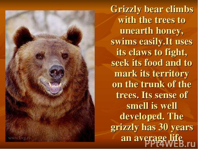 Grizzly bear climbs with the trees to unearth honey, swims easily.It uses its claws to fight, seek its food and to mark its territory on the trunk of the trees. Its sense of smell is well developed. The grizzly has 30 years an average life