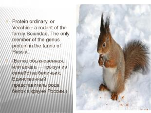 Protein ordinary, or Vecchio - a rodent of the family Sciuridae. The only member