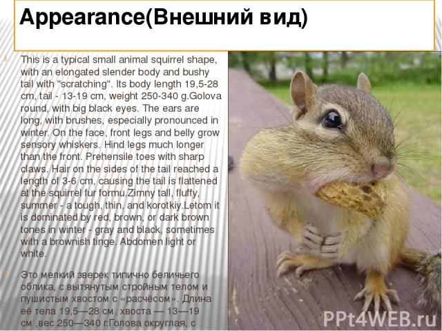 Appearance(Внешний вид) This is a typical small animal squirrel shape, with an elongated slender body and bushy tail with