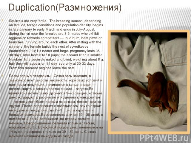 Duplication(Размножения) Squirrels are very fertile. The breeding season, depending on latitude, forage conditions and population density, begins in late January to early March and ends in July-August. during the rut near the females are 3-6 males w…