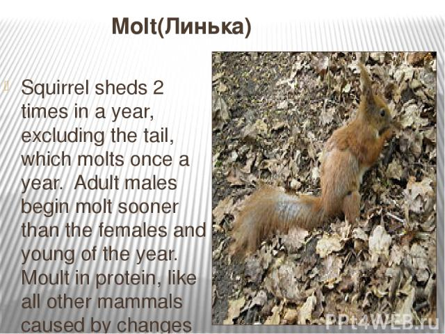 Molt(Линька) Squirrel sheds 2 times in a year, excluding the tail, which molts once a year. Adult males begin molt sooner than the females and young of the year. Moult in protein, like all other mammals caused by changes in the length of daylight ho…