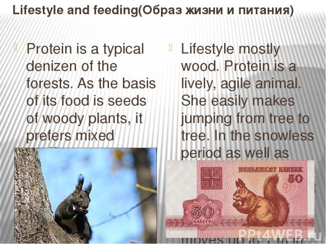 Lifestyle and feeding(Образ жизни и питания) Protein is a typical denizen of the forests. As the basis of its food is seeds of woody plants, it prefers mixed coniferous-deciduous forests that provide the best forage conditions. Love the mature plant…