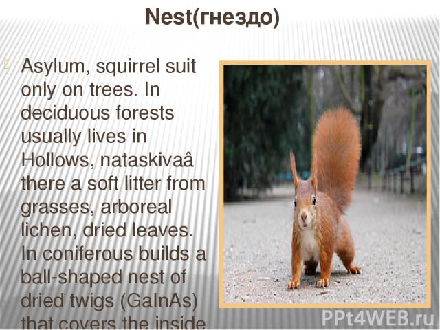 Nest(гнездо) Asylum, squirrel suit only on trees. In deciduous forests usually lives in Hollows, nataskivaâ there a soft litter from grasses, arboreal lichen, dried leaves. In coniferous builds a ball-shaped nest of dried twigs (GaInAs) that covers …