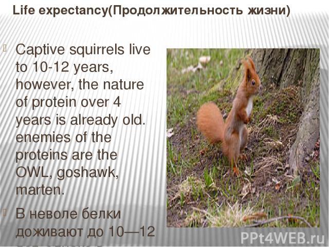 Life expectancy(Продолжительность жизни) Captive squirrels live to 10-12 years, however, the nature of protein over 4 years is already old. enemies of the proteins are the OWL, goshawk, marten. В неволе белки доживают до 10—12 лет, однако в природе …
