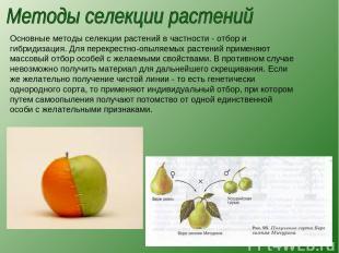 Основные методы селекции растений в частности - отбор и гибридизация. Для перекр