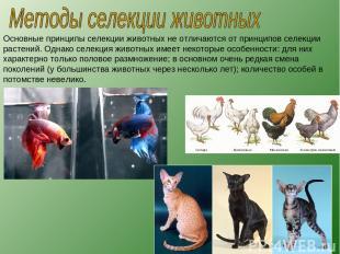 Основные принципы селекции животных не отличаются от принципов селекции растений