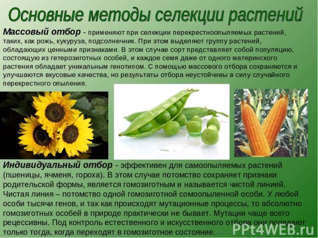 Массовый отбор - применяют при селекции перекрестноопыляемых растений, таких, как рожь, кукуруза, подсолнечник. При этом выделяют группу растений, обладающих ценными признаками. В этом случае сорт представляет собой популяцию, состоящую из гетерозиг…