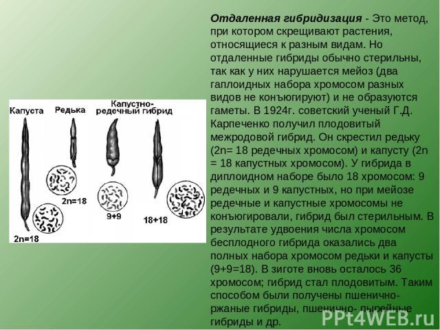 Отдаленная гибридизация - Это метод, при котором скрещивают растения, относящиеся к разным видам. Но отдаленные гибриды обычно стерильны, так как у них нарушается мейоз (два гаплоидных набора хромосом разных видов не конъюгируют) и не образуются гам…