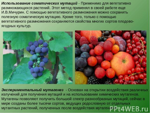 Использование соматических мутаций - Применимо для вегетативно размножающихся растений. Этот метод применял в своей работе еще И.В.Мичурин. С помощью вегетативного размножения можно сохранить полезную соматическую мутацию. Кроме того, только с помощ…