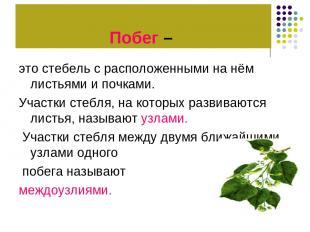 Побег – это стебель с расположенными на нём листьями и почками. Участки стебля,