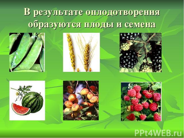 В результате оплодотворения образуются плоды и семена