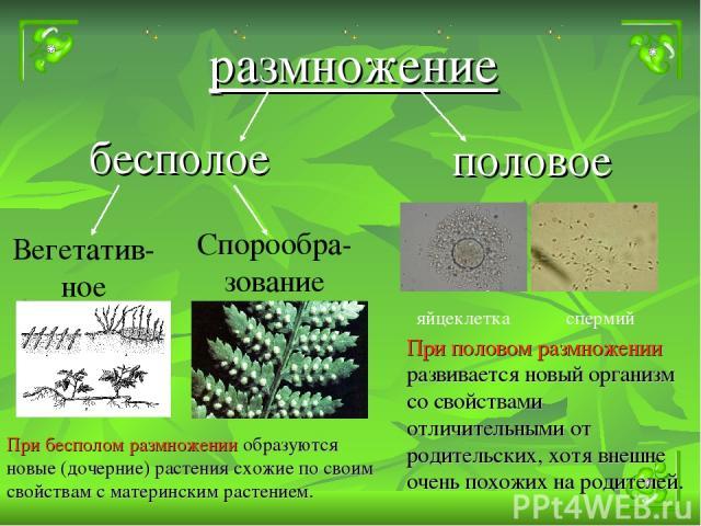 бесполое размножение половое Вегетатив-ное Спорообра-зование яйцеклетка спермий При бесполом размножении образуются новые (дочерние) растения схожие по своим свойствам с материнским растением. При половом размножении развивается новый организм со св…