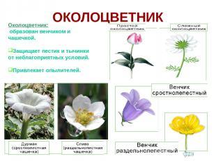 ОКОЛОЦВЕТНИК Околоцветник: образован венчиком и чашечкой. Защищает пестик и тычи