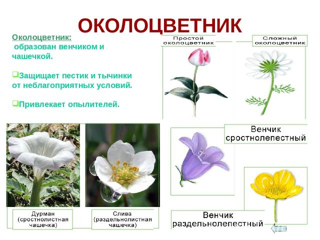 ОКОЛОЦВЕТНИК Околоцветник: образован венчиком и чашечкой. Защищает пестик и тычинки от неблагоприятных условий. Привлекает опылителей.