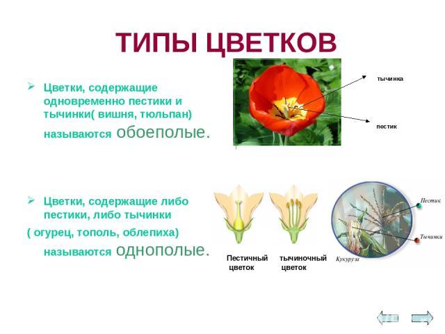ТИПЫ ЦВЕТКОВ Цветки, содержащие одновременно пестики и тычинки( вишня, тюльпан) называются обоеполые. Цветки, содержащие либо пестики, либо тычинки ( огурец, тополь, облепиха) называются однополые. Пестичный цветок тычиночный цветок пестик тычинка
