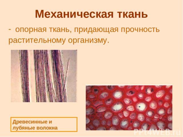 Механическая ткань опорная ткань, придающая прочность растительному организму. Древесинные и лубяные волокна