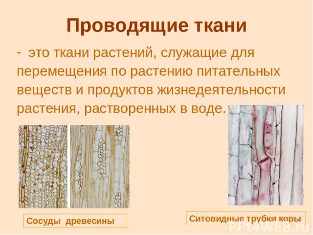Проводящие ткани это ткани растений, служащие для перемещения по растению питательных веществ и продуктов жизнедеятельности растения, растворенных в воде. Сосуды древесины Ситовидные трубки коры
