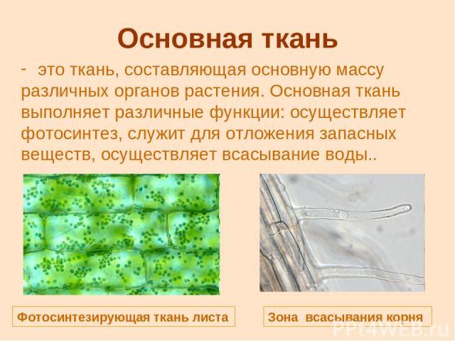 Основная ткань это ткань, составляющая основную массу различных органов растения. Основная ткань выполняет различные функции: осуществляет фотосинтез, служит для отложения запасных веществ, осуществляет всасывание воды.. Фотосинтезирующая ткань лист…