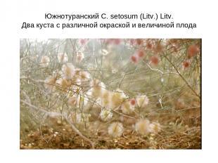 Южнотуранский C. setosum (Litv.) Litv. Два куста с различной окраской и величино