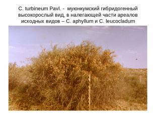 C. turbineum Pavl. - муюнкумский гибридогенный высокорослый вид, в налегающей ча