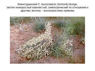 Южнотуранский C. leucocladum (Schrenk) Bunge, экотип низкорослый извилистый, сим