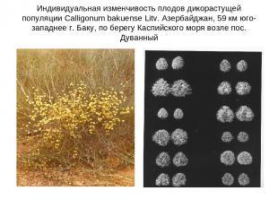 Индивидуальная изменчивость плодов дикорастущей популяции Calligonum bakuense Li