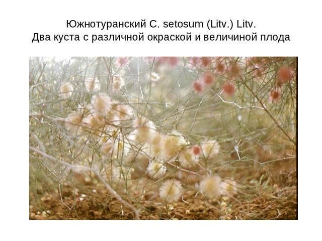 Южнотуранский C. setosum (Litv.) Litv. Два куста с различной окраской и величиной плода