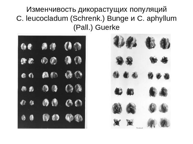 Изменчивость дикорастущих популяций C. leucocladum (Schrenk.) Bunge и C. aphyllum (Pall.) Guerke
