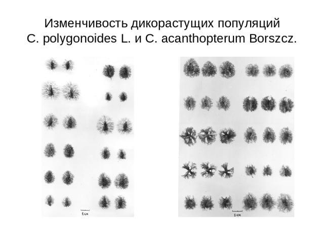 Изменчивость дикорастущих популяций C. polygonoides L. и C. acanthopterum Borszcz.