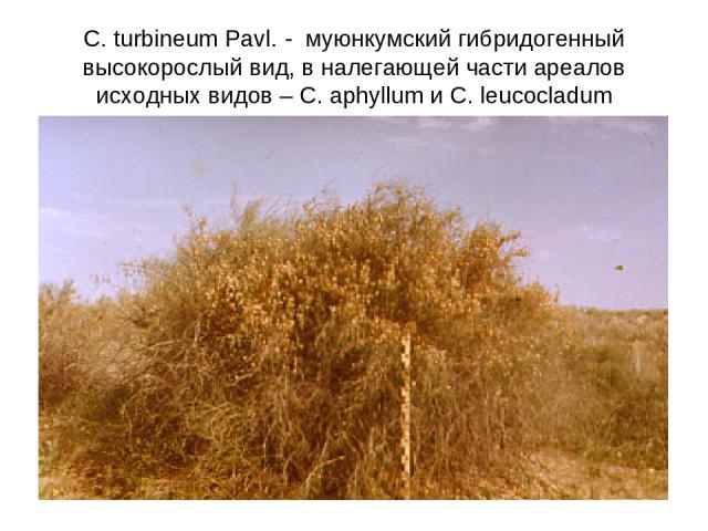 C. turbineum Pavl. - муюнкумский гибридогенный высокорослый вид, в налегающей части ареалов исходных видов – C. aphyllum и C. leucocladum
