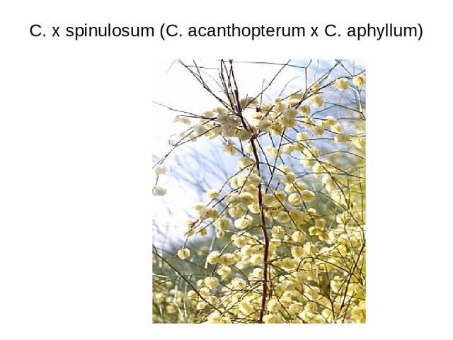 C. x spinulosum (C. acanthopterum x C. aphyllum)