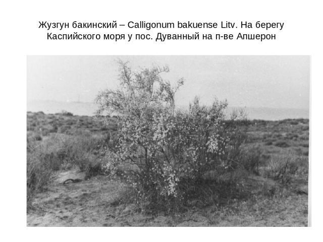 Жузгун бакинский – Calligonum bakuense Litv. На берегу Каспийского моря у пос. Дуванный на п-ве Апшерон