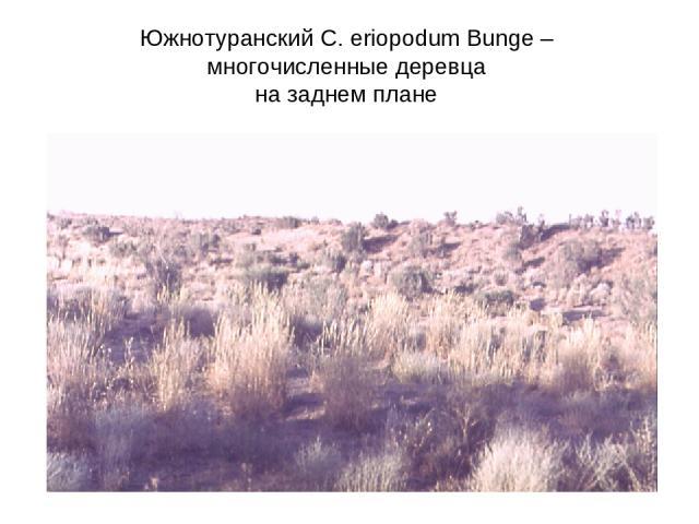 Южнотуранский C. eriopodum Bunge – многочисленные деревца на заднем плане