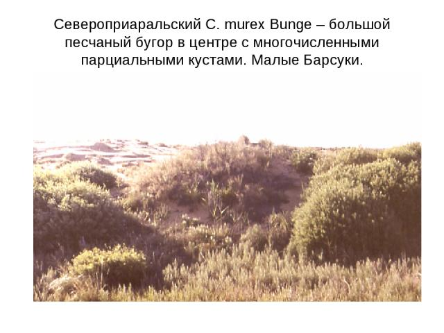Североприаральский C. murex Bunge – большой песчаный бугор в центре с многочисленными парциальными кустами. Малые Барсуки.