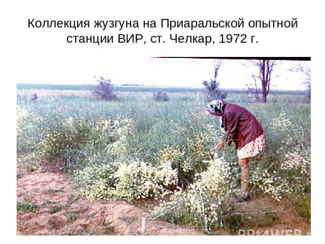 Коллекция жузгуна на Приаральской опытной станции ВИР, ст. Челкар, 1972 г.