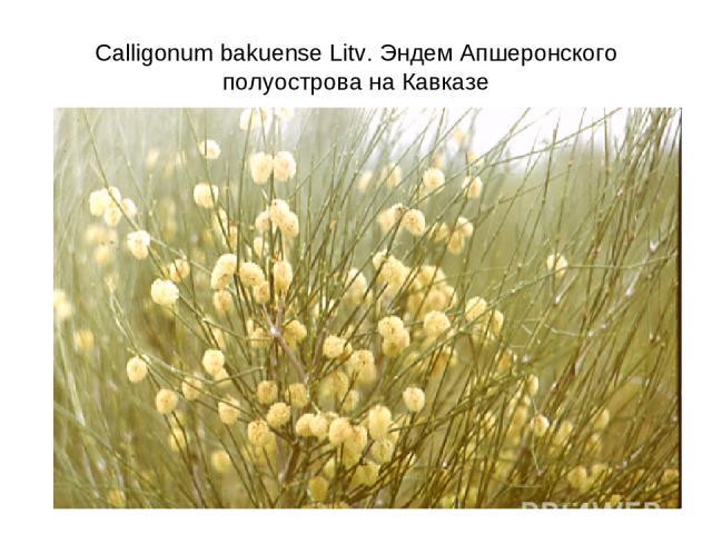 Calligonum bakuense Litv. Эндем Апшеронского полуострова на Кавказе