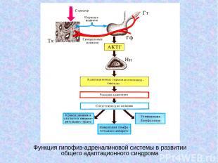 Функция гипофиз-адреналиновой системы в развитии общего адаптационного синдрома