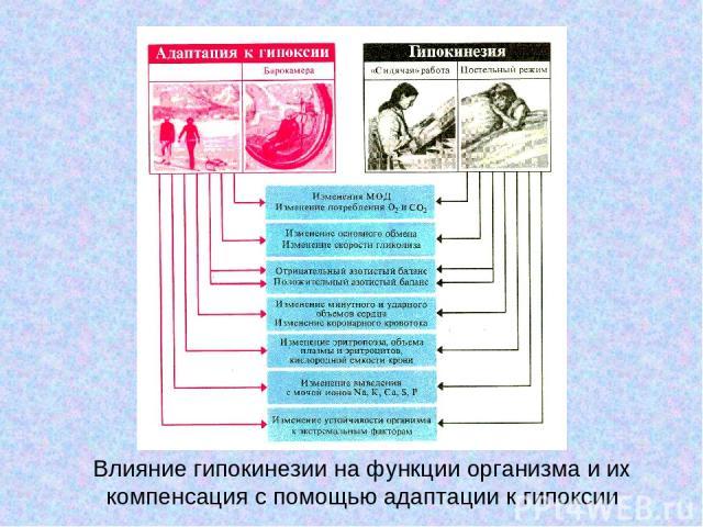 Влияние гипокинезии на функции организма и их компенсация с помощью адаптации к гипоксии